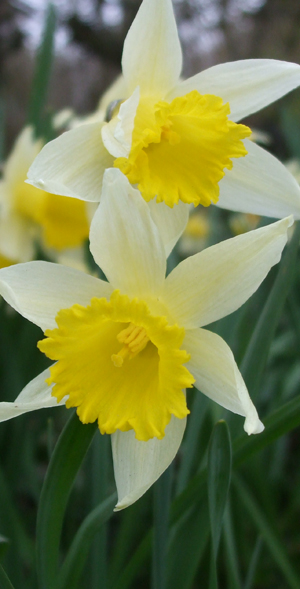 Daffodils in Corsley