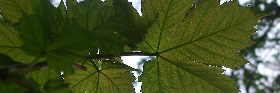 Maple leaves in Dertford Woods, Corsley
